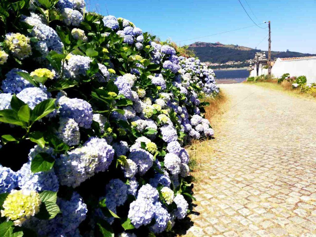 Północna Portugalia - Caminha - hortensje