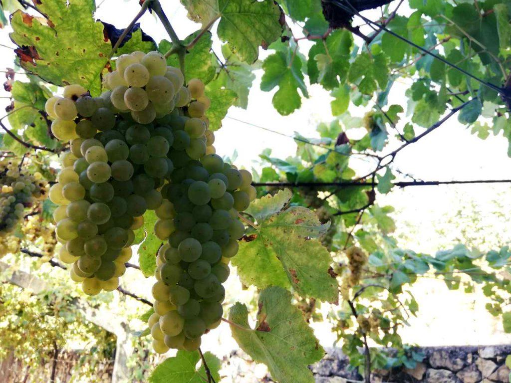 Zielone wino portugalskie - vinho verde - kiście winogron