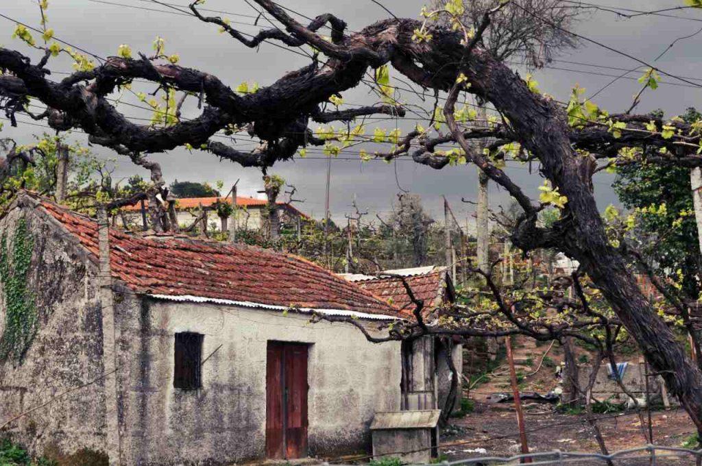 Zielone wino portugalskie - vinho verde - zima